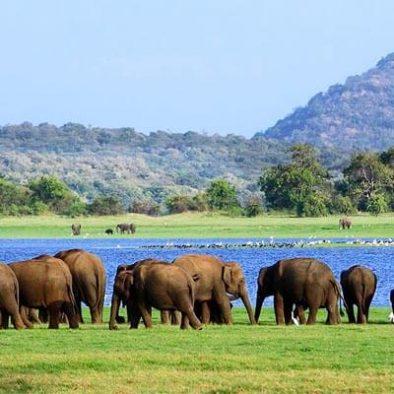 Minneriya Elephants