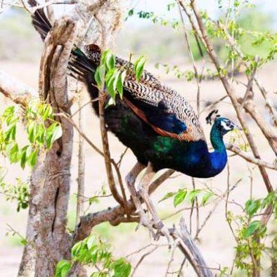 Yala Peacock