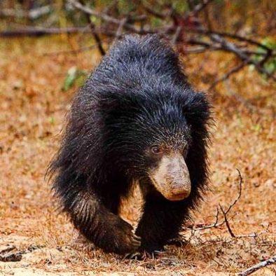 Sloth Bear Yala