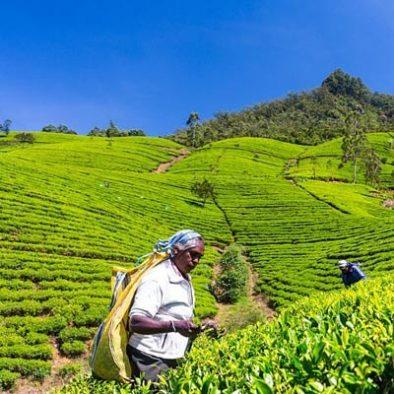 Visit a Tea Factory and Tea Plantation